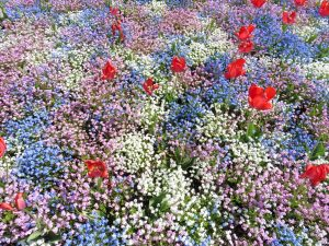 En sommaräng fylld av vita och lila blommor med några större röda vallmoblommor här och där.